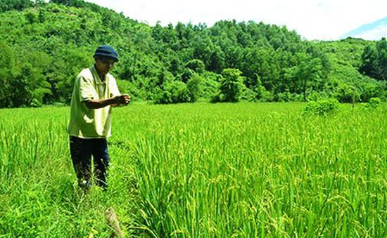 Quảng Nam: Phát triển lúa nước đảm bảo an ninh lương thực vùng cao