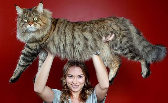Những chú mèo siêu bự khiến con người trở thành 'tí hon'