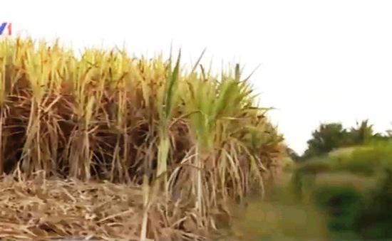Người trồng mía lao đao vì kênh cạn nước