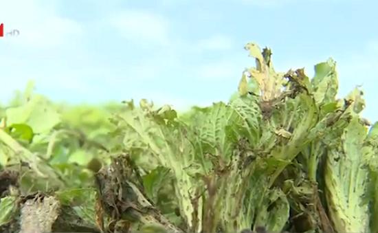 Hưng Yên: Nông dân thiệt hại nặng do mưa lớn