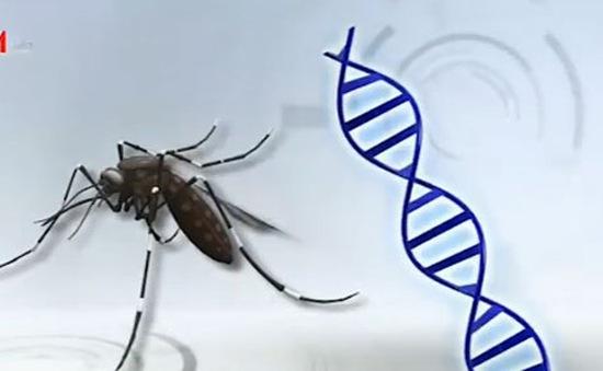 Phát triển loại muỗi biến đổi gen kháng sốt rét