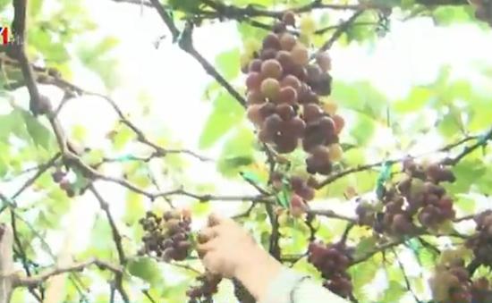 Ninh Thuận: Giá nho xuống thấp kỷ lục, nhiều nhà vườn lâm cảnh 'trắng tay'