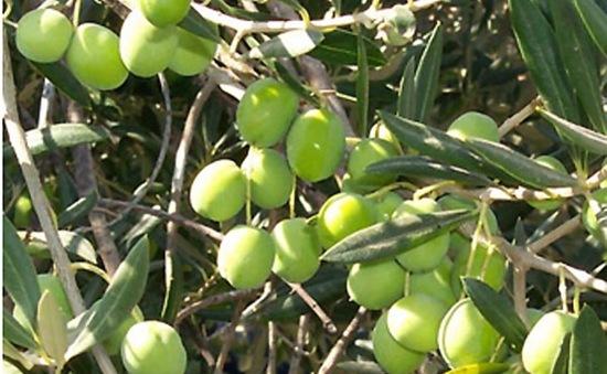 Biến đổi khí hậu đe doạ ngành trồng ô liu tại Tunisia