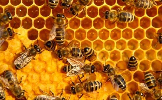 Huấn luyện ong có khả năng phát hiện mìn