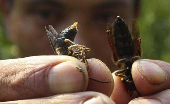 Hàng triệu con ong bắp cày đang vượt biển tới Anh