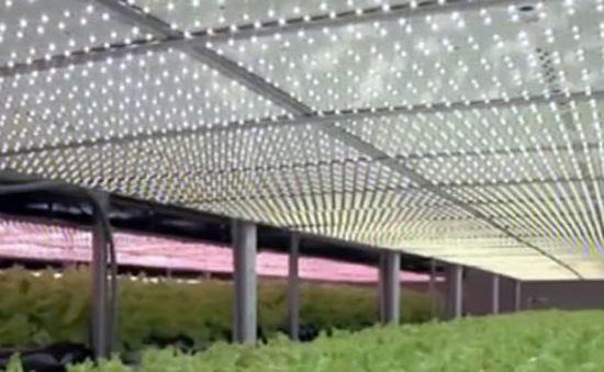 Vườn rau công nghệ cao chiếu sáng bằng đèn LED