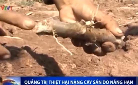 Quảng Trị: Hàng trăm diện tích trồng sắn có nguy cơ mất trắng