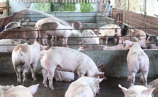 Tổng kiểm tra việc sử dụng chất cấm trong chăn nuôi