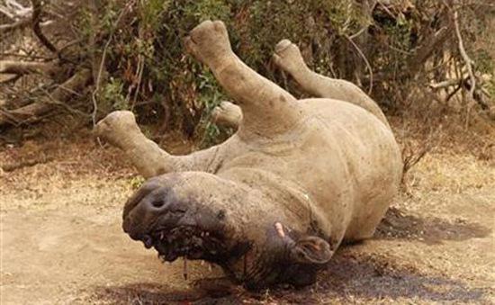 Nam Phi cảnh báo nạn săn trộm tê giác tiếp tục tăng