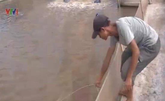 Thái Bình: Người nuôi tôm khó tìm thương lái
