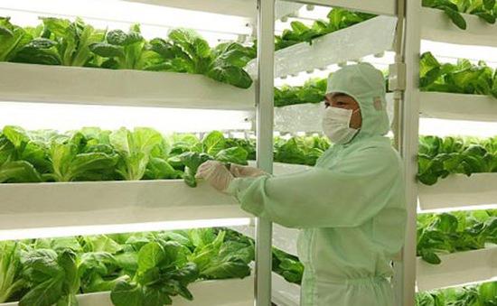 Phổ biến trồng rau trong nhà kính tại Nhật Bản