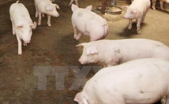 TP.HCM: Phát hiện 2 công ty thức ăn chăn nuôi nghi  sử dụng chất tạo nạc