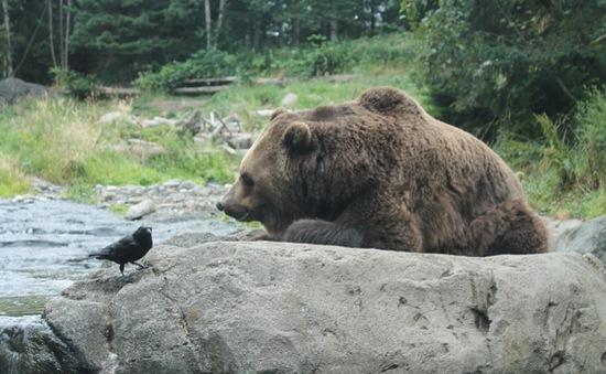 Hình ảnh hiếm gặp: Gấu cứu quạ khỏi chết đuối
