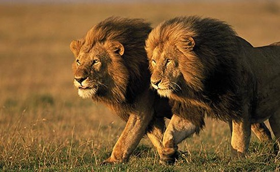 Ba thổ dân dũng cảm cướp mồi ngon của sư tử