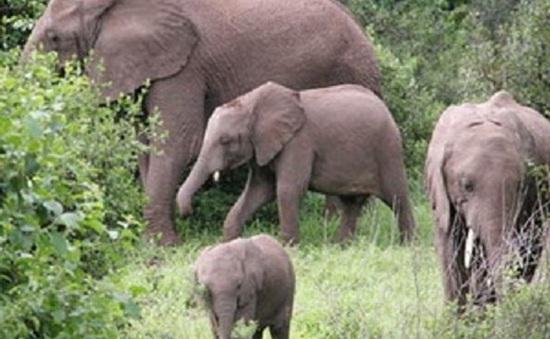 Gia tăng nạn voi rừng tấn công voi nhà, phá hoại ruộng vườn