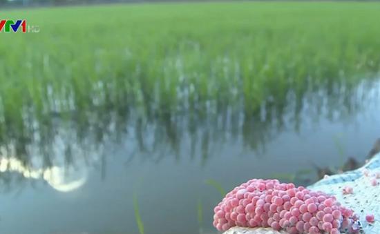 Xuống giống sớm, nông nghiệp Kiên Giang bị thiệt hại trong vụ Đông Xuân