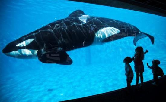 Công viên SeaWorld chấm dứt chương trình nuôi cá voi sát thủ