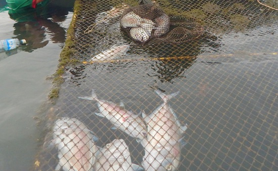 TT-Huế: Khuyến cáo không thả cá vào thời điểm mưa nhiều