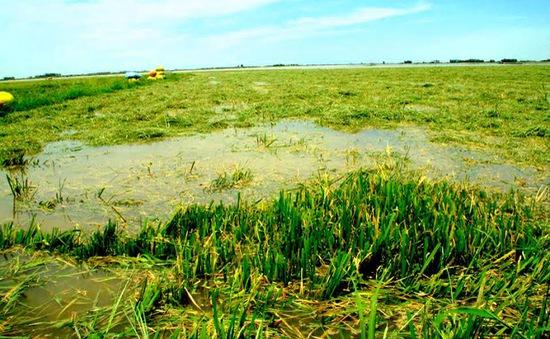 Lũ uy hiếp hơn 1.000ha lúa Đông Xuân tại Đồng Tháp