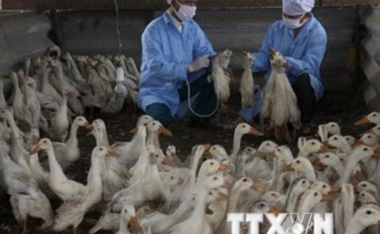 Cảnh báo nguy cơ bùng phát dịch H5N1 tại Cà Mau