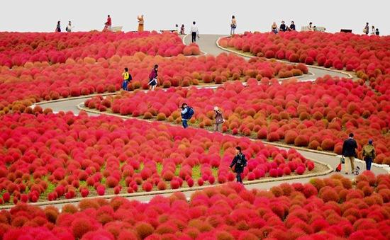 Diệu kì màn biến hóa của cây Kokia ở công viên Hitachi Seaside, Nhật Bản