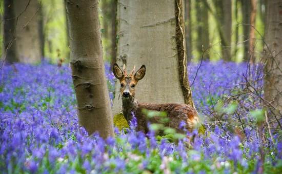 Say đắm vẻ đẹp cánh rừng hoa tím bạt ngàn ở Bỉ