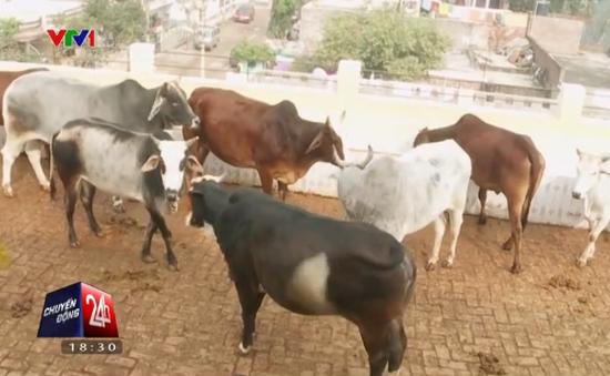 Nước tiểu bò… bán chạy hơn sữa ở Ấn Độ