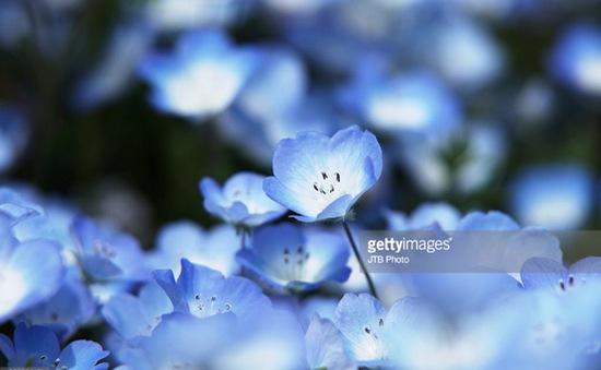 Vẻ đẹp huyền ảo của cánh đồng hoa mắt xanh tại Nhật Bản