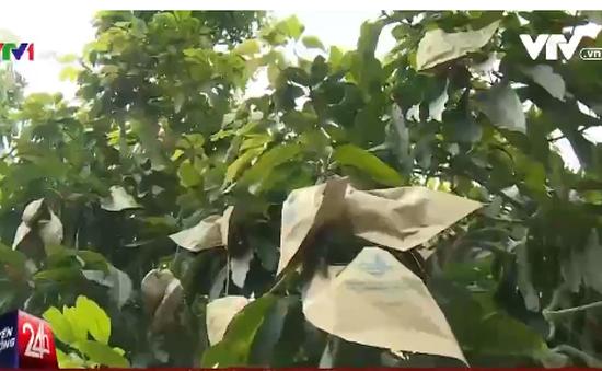 Nông dân lỗ nặng vì tin đồn túi bao xoài nhiễm hóa chất độc