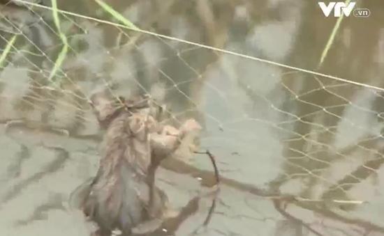 Hiểm họa chết người từ bẫy chuột điện ở ĐBSCL