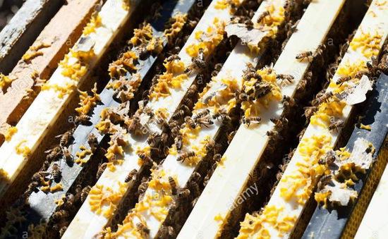 Khi người giữ rừng thành tỷ phú nhờ… ong