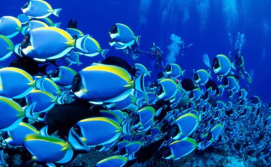"""Cá Blue Tang nổi tiếng nhờ phim """"Đi tìm Dory"""""""