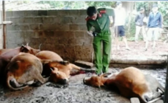 Điều tra nguyên nhân bò chết bất thường ở Đăk Lăk