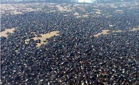 Hàng triệu con bọ hung phủ đen bờ biển Argentina