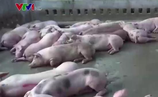 Phát hiện cơ sở bơm nước, tiêm thuốc an thần vào lợn tại Bình Dương