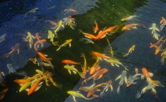 TP.HCM: Thu 7 triệu USD từ xuất khẩu cá cảnh