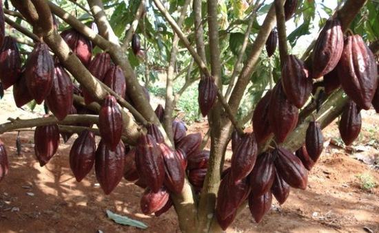 Việt Nam vào top 23 nước có ca cao hương vị tốt