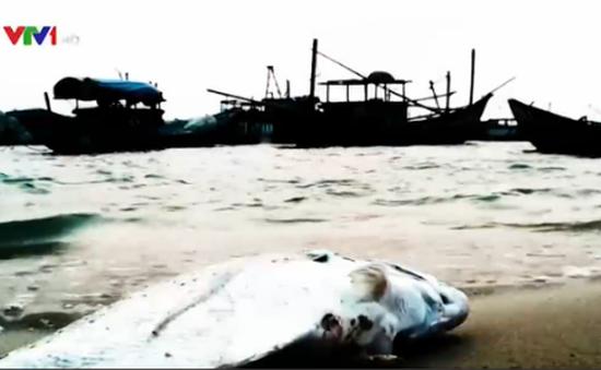 Thực hư chuyện cá chết hàng loạt ở bờ biển Cồn Vành, Thái Bình