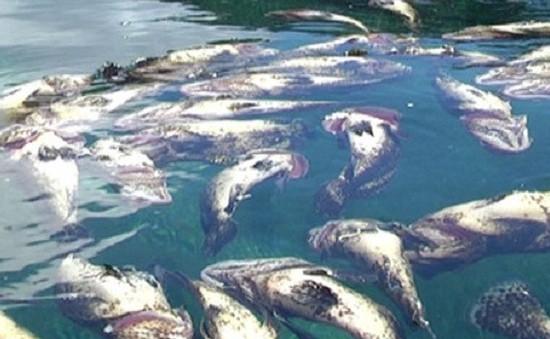 Cá chết tại đảo Phú Quý là do tác động tự nhiên