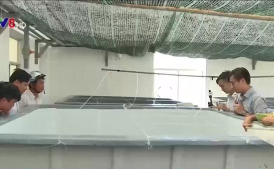 TT-Huế: Nhân giống thành công cá dìa bằng sinh sản nhân tạo