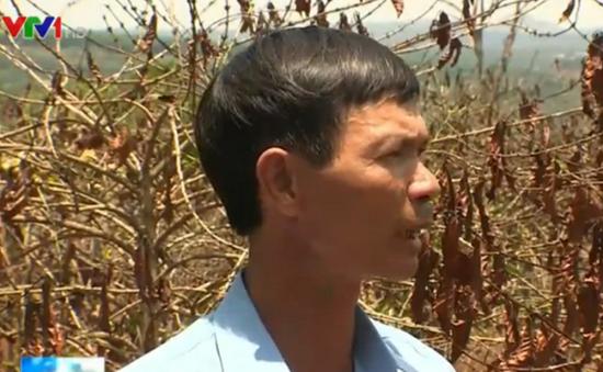 """Tây Nguyên: Năng suất cà phê giảm mạnh sau cơn mưa """"vàng"""""""
