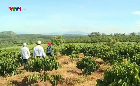 Kon Tum trồng mới trên 1.000 ha cà phê