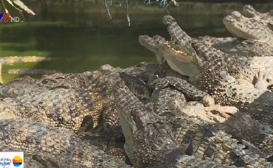 ĐBSCL đối mặt nguy cơ cá sấu sổng chuồng, tấn công người