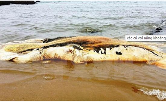 Xác cá voi 5 tấn dạt vào bờ biển Quảng Bình