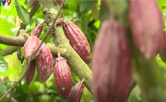 Người dân Bến Tre ổn định thu nhập từ cây ca cacao