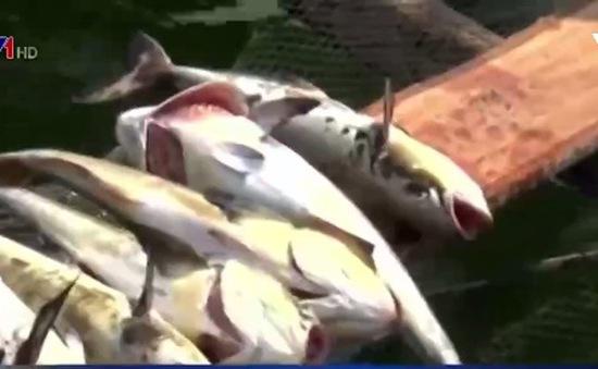 Xuất hiện tình trạng cá chết trên vùng biển Kiên Giang