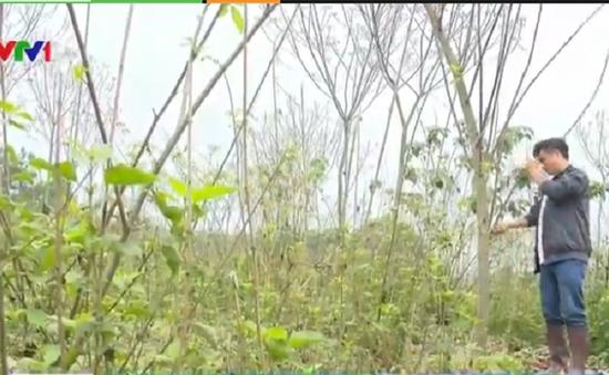 Phú Thọ dự kiến phá bỏ toàn bộ diện tích trồng cây cao su