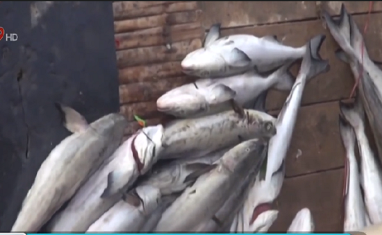 Người dân Quảng Ngãi điêu đứng vì hàng tấn cá nuôi chết