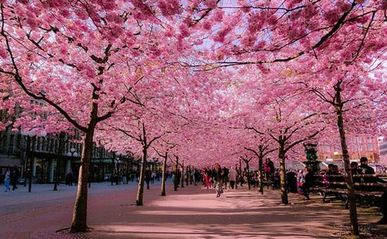 Xuân Hà Nội thêm lung linh với sắc hoa anh đào