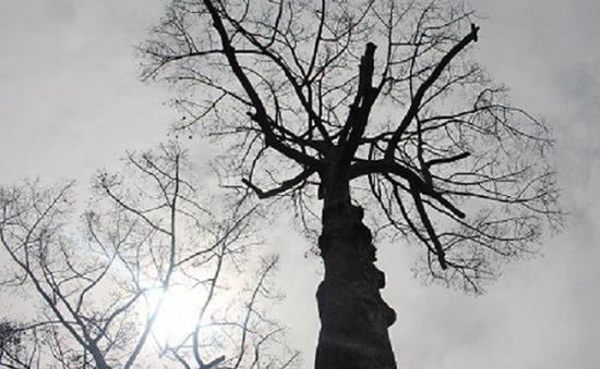 Nhiều cây cổ thụ trăm tuổi chết bất thường nghi bị đầu độc tại TP.HCM